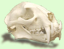 clouded leopard skull model
