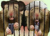 singing rats