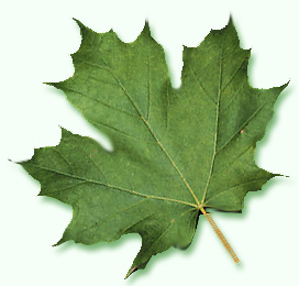 Sugar Maple Leaf Image